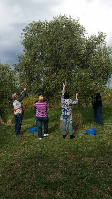 Picking olives from the olive groves for the olive preserving workshop by My Green Garden