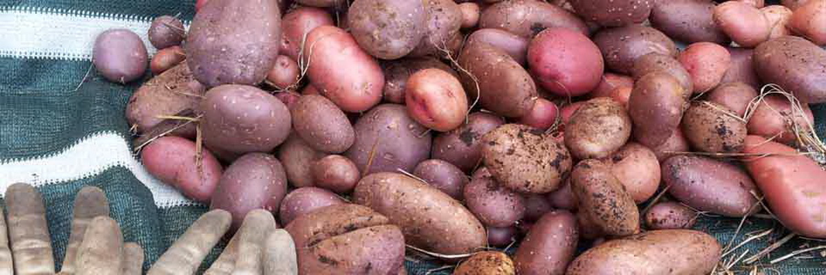 Growing potatoes in small spaces