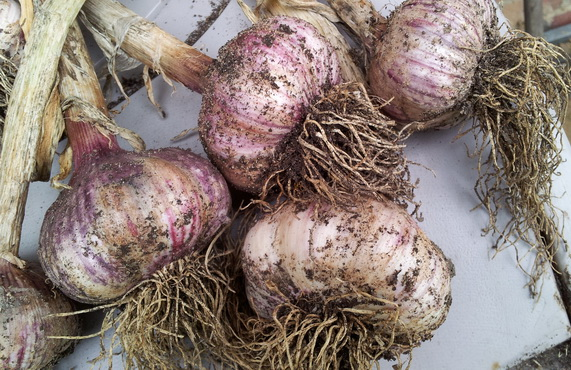 What is the proper depth for planting garlic?