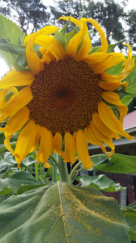 My Green Garden Giant Russian Sunflower